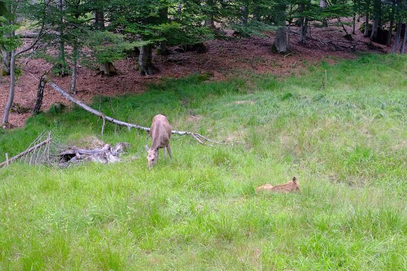 Moose at the Bavarian Forest National Park