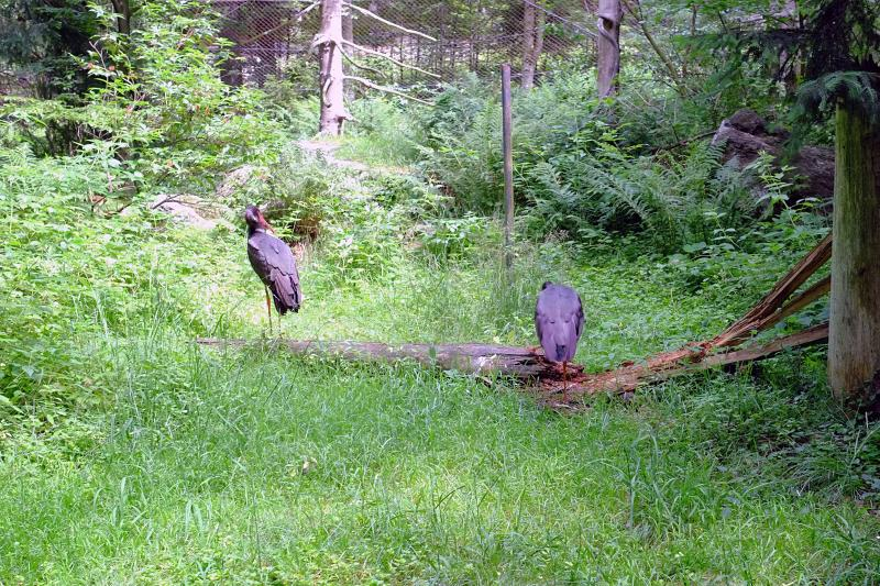 Storks at the Bavarian Forest National Park